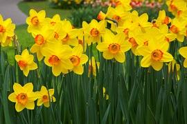 daffodil-flowers.jpg